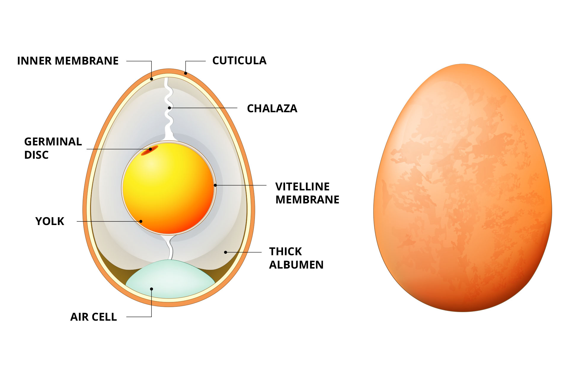 Nihon – the perfect egg - anatomy of an egg